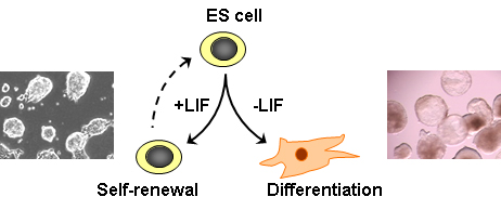 stem-cell-biology